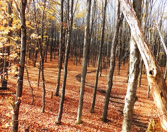 Photograph of Trees in Autumn,Maple Trees in Fall,Fall Photo,Fall Tree Foliage,Autumn Color Trees,Forest Tree Landscape,Autumn Path Picture