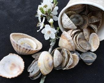 Seashells - Assorted Limpet Shells (set of 50)