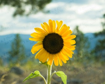 Sunflower photo flower, SUNFLOWER, FLOWER ART, Flower Decor, flower picture, yellow sunshine, fine art 8 x 10 gift, special occasion print