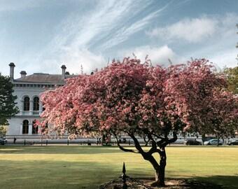 Cherry Blossom Tree, Trinity College, Dublin, Ireland Photography