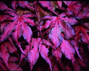 Purple Ghost Japanese Maple  1 - Year Live Plant