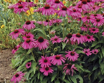 Purple Coneflower plant.
