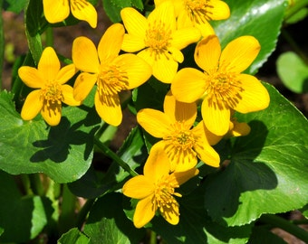 Marsh Marigold (125, 250, 500 1000 seeds) Caltha wetland pond Kingcups FRIDGE