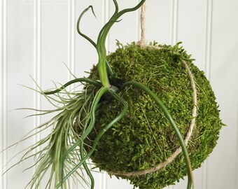 Tillandsia Hanging Kokedama by Zentilly©