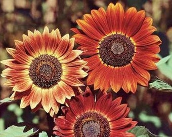Indian Blanket Sunflower Seeds 30+ Seeds     Helianthus annuus NON-GMO