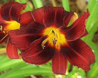 2 - Route 66 - Daylily