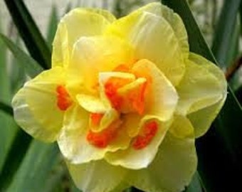 8 Fashion Double Daffodil Bulbs - Plant Now for Spring Blooms