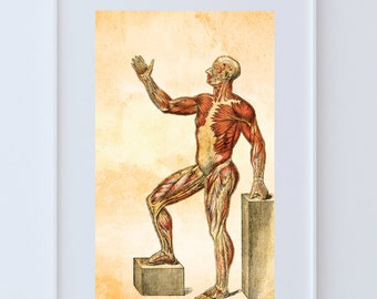 Vintage Victorian Medical Human Muscle Anatomy Print Giclee Anatomy Print on Cotton Canvas and Paper Canvas Home Wall Decor