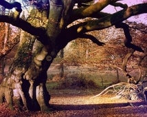 Old Tree Photo, Old Tree in Forest Photograph, Beech Tree Photo, Tree Wall Decor, Forest Fine Art Print, Ancient Tree Print, Gnarled Wood