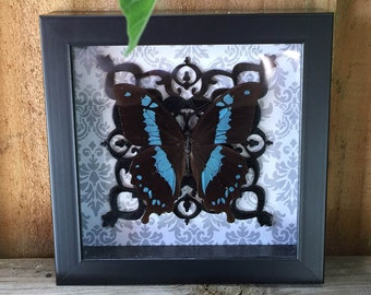 REAL Butterfly, Papilio, Moroccan, Black and White, Taxidermy