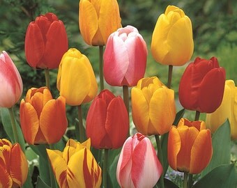 20 TULIP BULBS - Tequila Sunrise Mixture - Fall Shipping