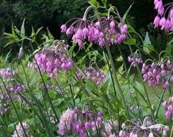 Nodding Pink Onion Flower Seeds/Allium Cernuum/Perennial   50+