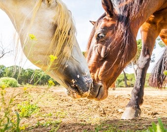 THE GREETING. horse print, equine picture, horses print, photographic print