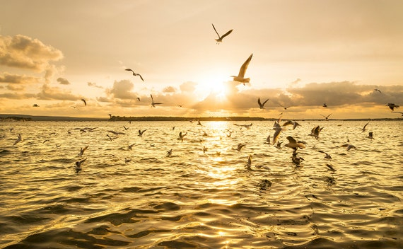 SEAGULL SUNSET. Pool Harbour Print, Dorset Picture, Seascape, Sunset print, Limited edition Print, Photographic Print.