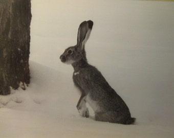 Jack Rabbit in Winter