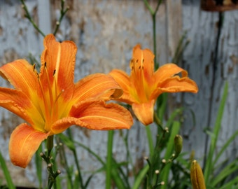 Lilies in the rough