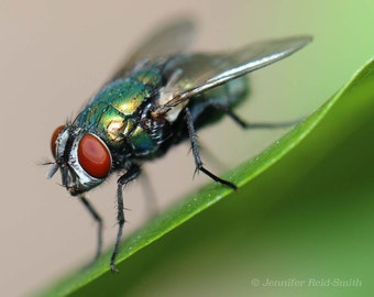 Nature Photography, Iridescent Fly, Photographic Print, Insects, Fly, Insect Photography, Macro Photography, Fly on a Leaf