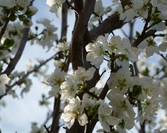 Blossom.  (card)
