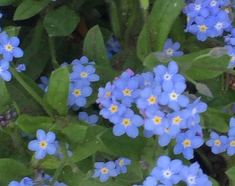 Forget me not seeds.  Over 100 seeds for scattering.  Blooms in May.  Can tolerate shade.