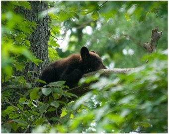 photography,wildlife photography,bear photo,black bear,bear cub,smoky mountains,Tennessee photo,bear photograph,animal photography