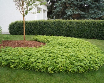 LIVE architectual plant Pachysandra Terminalis (Japanese) cold hardy broadleaf evergreen groundcover (-34C (-30F))