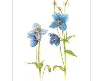 Meconopsis 'Slieve Donard' Giclee Print by Heather Raeburn