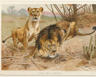 Antique animal print of Lion and Lioness