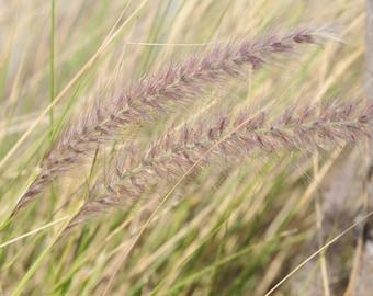 Lavender Cattail