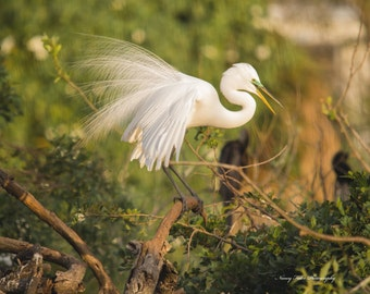 Great Egret Displaying for her mate.