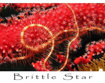 Greeting Card, Underwater Image, Brittle Star on Soft Coral
