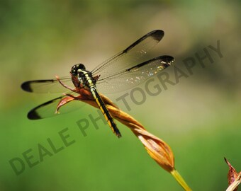 Dragonfly on a wilted flower