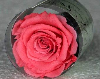 Stabilized eternal Pink Rose