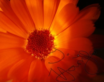 Digital Download Orange Flower Photography Bright Orange Nature Close Up Macro