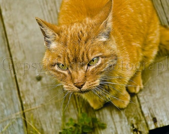 GREEN EYED CAT-Colour Photograph-Orange Tabby Stray Cat Looking up