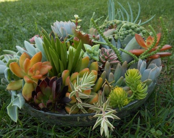 Succulent Cuttings - 10 Medium to Large High Quality Cuttings