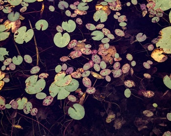 Lily Pads: WALL ART Fine Art Photography Purple Violet Pink Green Aqua Marine Turqouise Yellow Water Abstract Nature Pattern Lillies in Pond