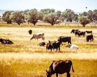 Symbiotic, Cows, Prairie, Farm, Midwest  - Original Photograph