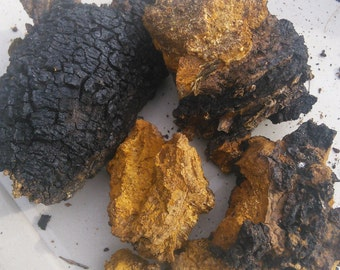 Chaga chunks ethically harvested from the pristine forests of Upper Michigan