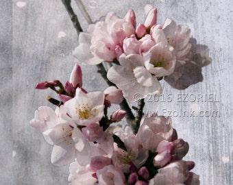 Snowy Cherry Blossom - By Ezoriel - Flowers, Distressed, Original, Print, Giclee, Tree, Snow, Winter
