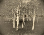 Tree of Life. Aspen. Original Digital Photograph Art Print. Black and White. Wall Art. Wall Decor.  ASPEN GROVE by Mikel Robinson
