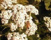 YARROW 1/4 lb Achillea millefolium bulk dry herb KiOhmA Anarchy Herbals