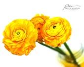 Yellow Ranunculus, ranunculus print, yellow flower mason jar, mason jar flowers, mason jar photo, mason jar print, yellow wall art, yellow