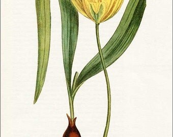 PRINT SALE 20% OFF Vintage 1960's Tulipa silvestris Botanical, Floral Bookplate Print for Framing, Yellow Tulip