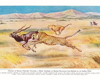 1940s Cheetah Print -  Vintage Antique Animal Zoology Zoo Cat Home Decor Book Plate Art Illustration for Framing