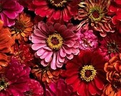 Organic Heirloom Zinnia California Giants Mix Annual or Wildflower Seeds