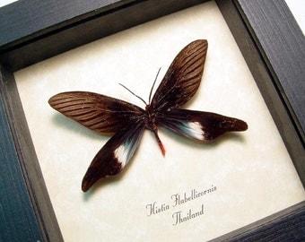 Real Framed Rare Histia Flabellicornis Moth 832