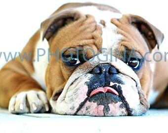 English Bulldog Kisses. Fine Art Metallic Photo Print. Dog Photography.