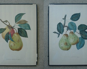 Illustrations of Fruit - Pears and Plums
