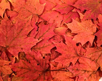 SALE, 25 Medium Sized, Red, Orange Sugar Maple Leaves - Great for Do-it-Yourself Wedding Invitation cards etc