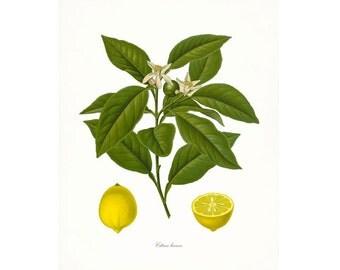 Vintage Lemons Botanical Citrus Giclee Print